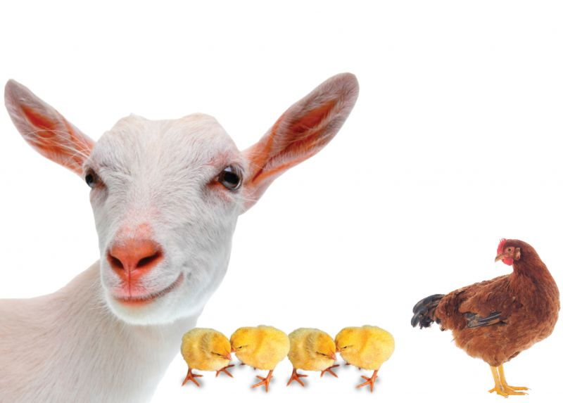 1 Goat & 5 Chickens - Holt International Gifts of Hope