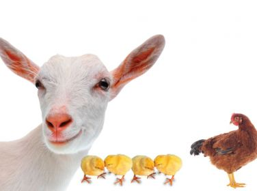 1 Goat + 5 Chickens