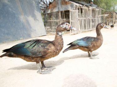 Give Ducks